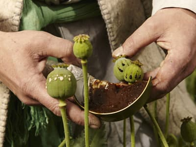 close-up of hands harvesting raw opium plants